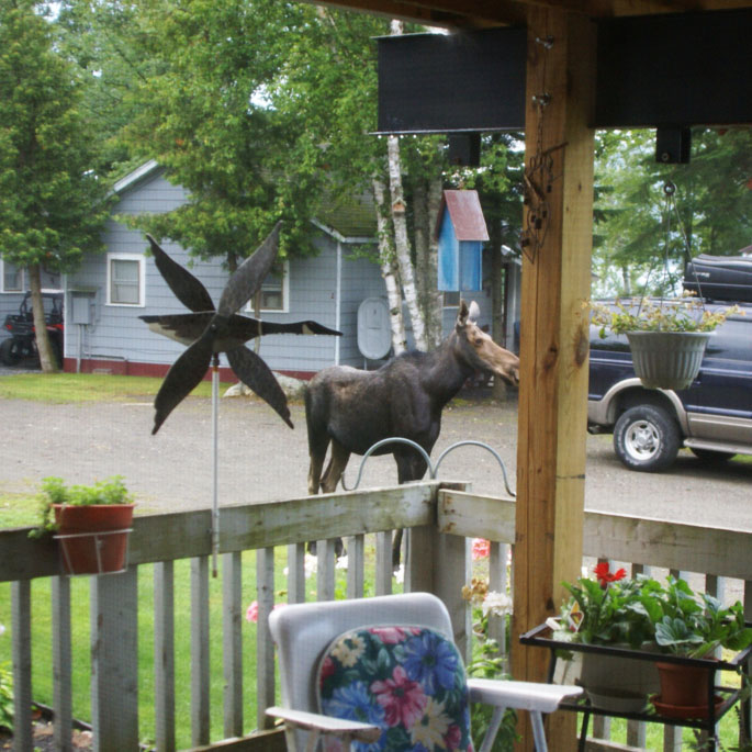 Moose at COZY COVE CABINS