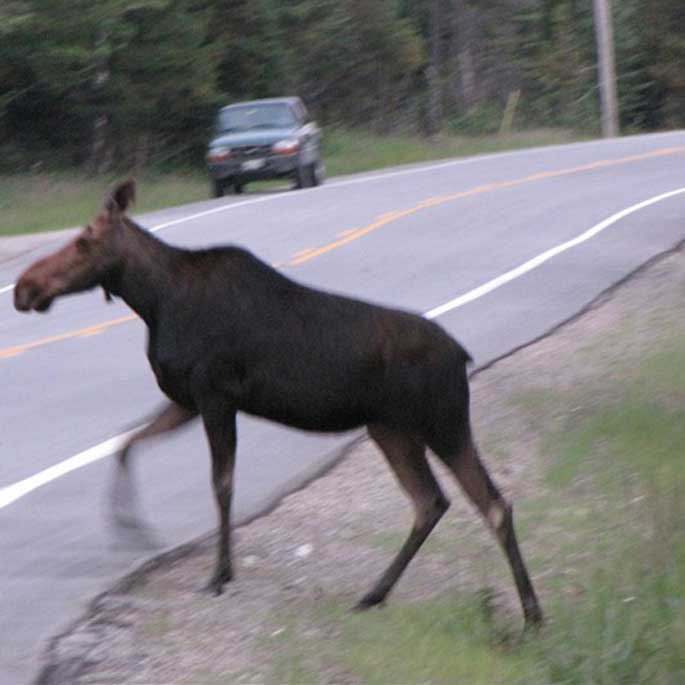 moose on road